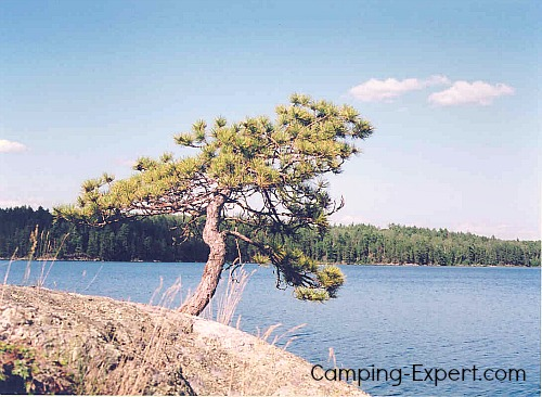 Pickeral Lake Tree Quetico